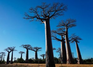 MadagascarBaobab